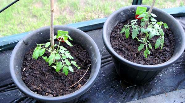 Посадка помидоров в грунт рассадой