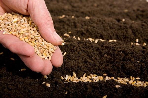 как сажать перец в открытый грунт семенами