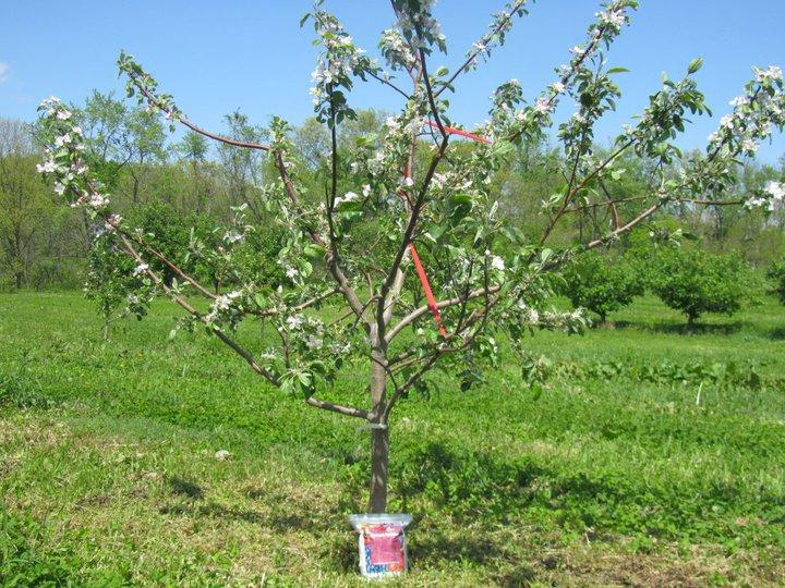 Сажаем яблоню весной правильно