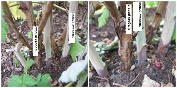 как посадить малину весной