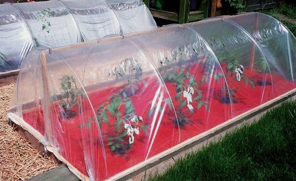 Как спасти замерзшие помидоры