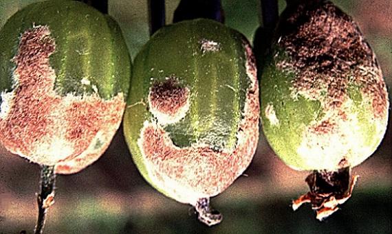 Лечение крыжовника от мучнистой росы