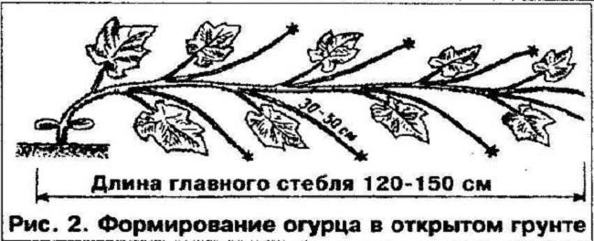 формирование огурцов