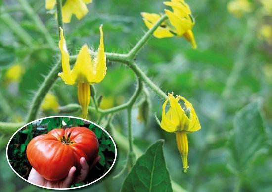 как определить пустоцвет на помидорах