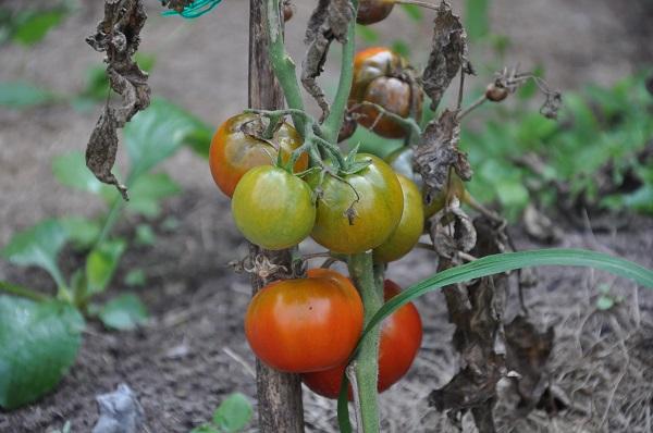 чернеют помидоры на кусте что делать