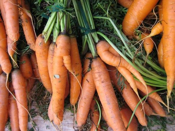 Когда убирать морковь