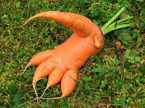 когда выкапывать морковь на хранение