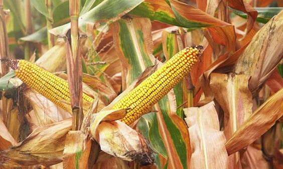 как определить зрелость кукурузы в початках