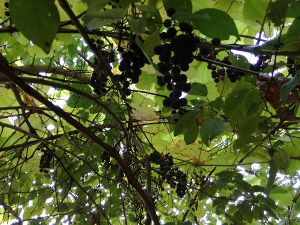 Как определить спелость  винограда на кусте