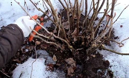 как подготовить крыжовник к зиме