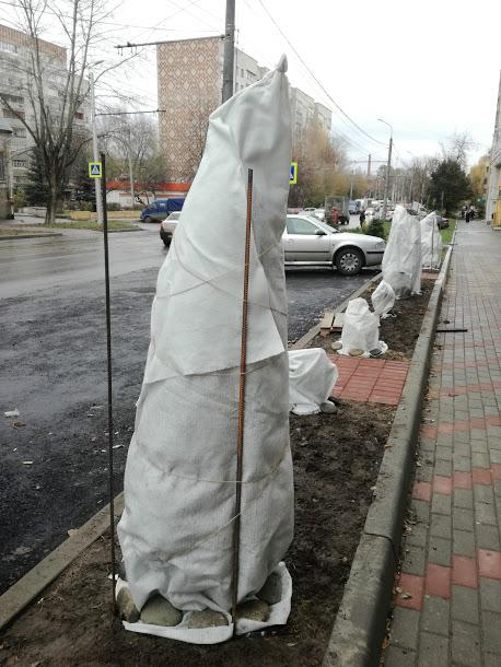 как укрыть тую на зиму