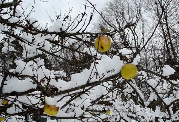 как утеплить яблоню на зиму