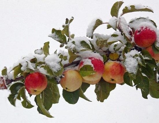 почему яблоня не сбрасывает листья на зиму