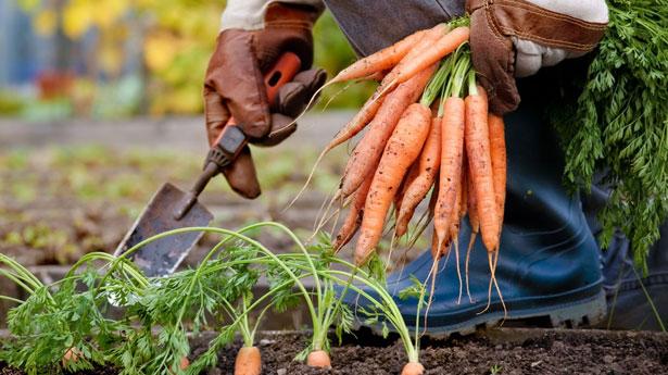 посадка моркови осенью