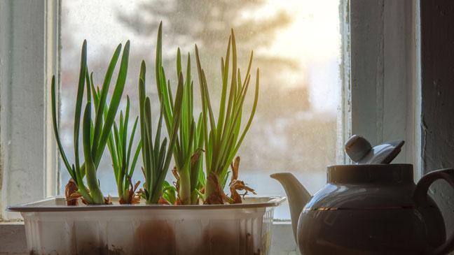 выращивание лука в квартире зимой