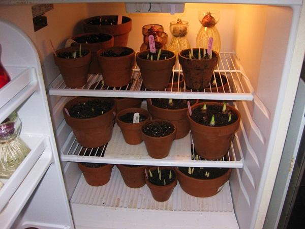 когда посадить тюльпаны дома чтобы расцвели к 8 марта