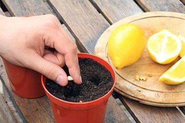 как вырастить лимон из косточки чтобы были плоды