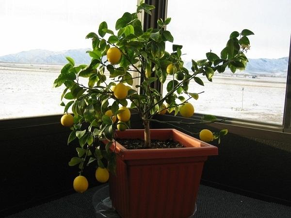 как вырастить лимон из косточки в домашних условиях чтобы были плоды