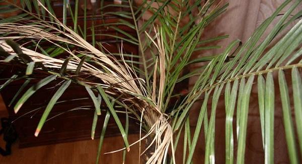 Сохнут листья у финиковой пальмы