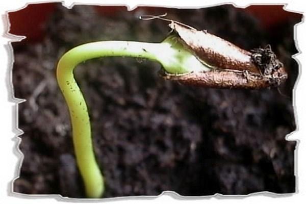 как посадить семечко хурмы