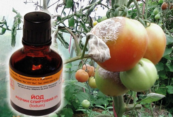 подкормка рассады помидор после пикировки