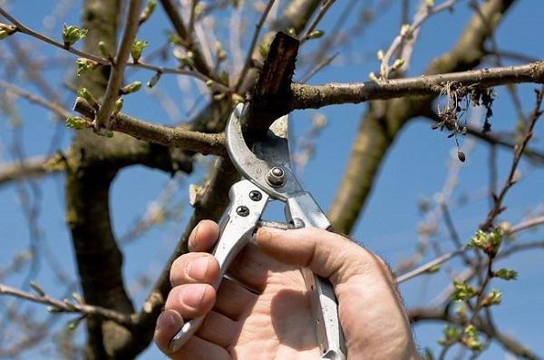 Обрезка яблони весной: схема и видео для начинающих