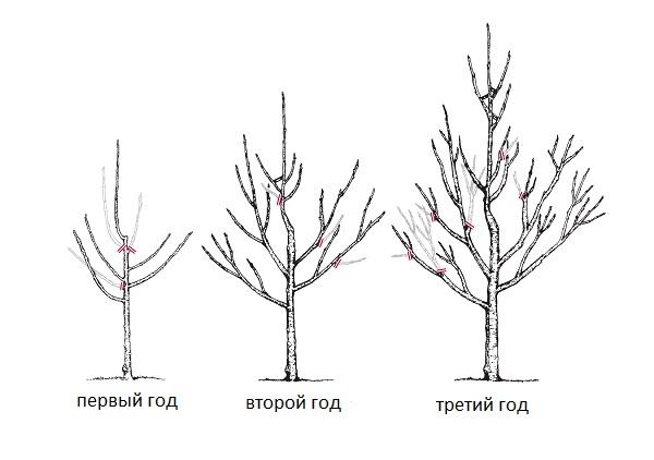 схема обрезки яблони весной