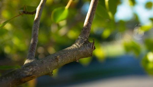 обрезка груши весной схема