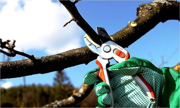 как правильно обрезать грушу весной