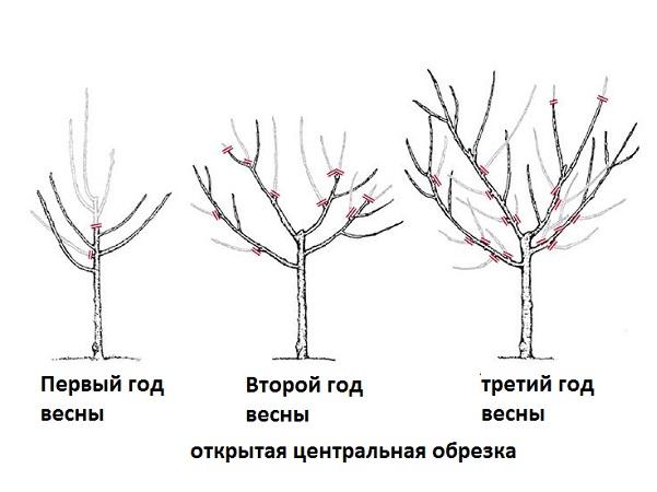 как правильно обрезать грушу весной схема