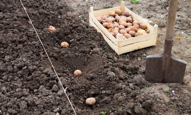 Благоприятные дни для посадки картофеля в 2018 году