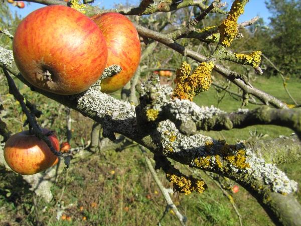 лишайник на яблоне как избавиться