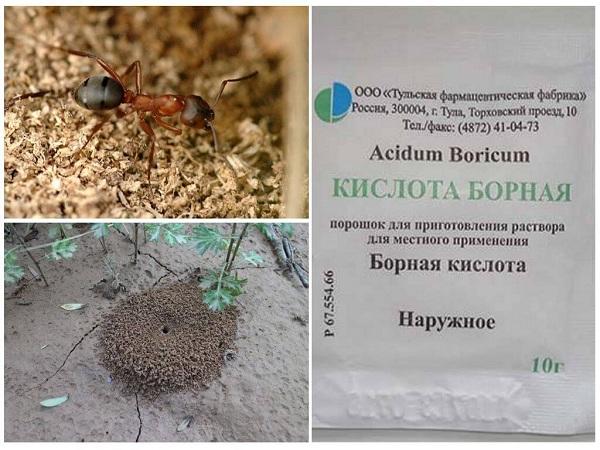 как бороться с муравьями борной кислотой
