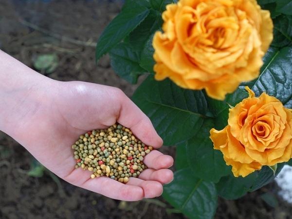 чем подкормить розы для обильного цветения