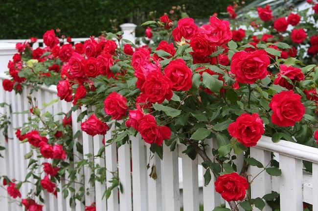 Почему не цветет роза что делать
