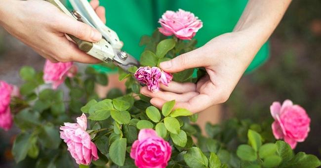 нужно ли срывать вянущие цветки с розы