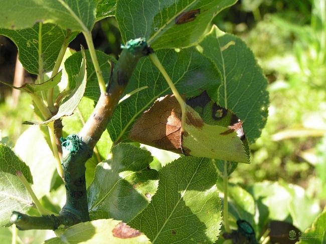 болезни груши чернеют листья