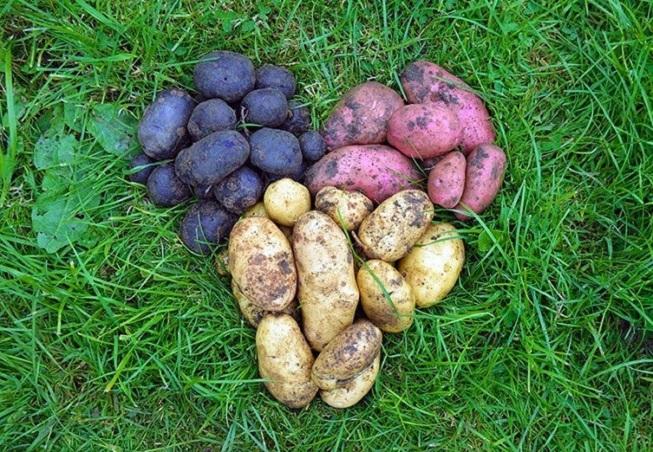 когда копать картошку в 2018 году по лунному календарю