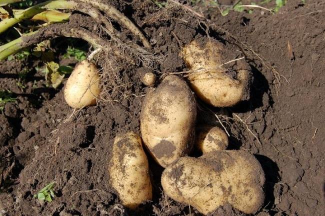 Благоприятные дни для уборки картофеля