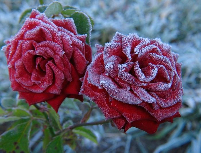 как подготовить розы к зиме на даче