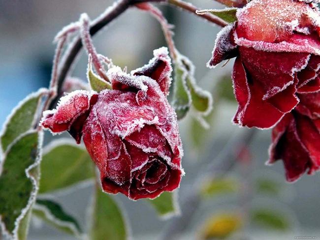 Укрытие роз зимой