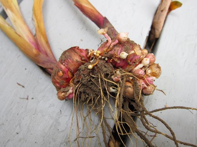 как подготовить гладиолусы к хранению на зиму