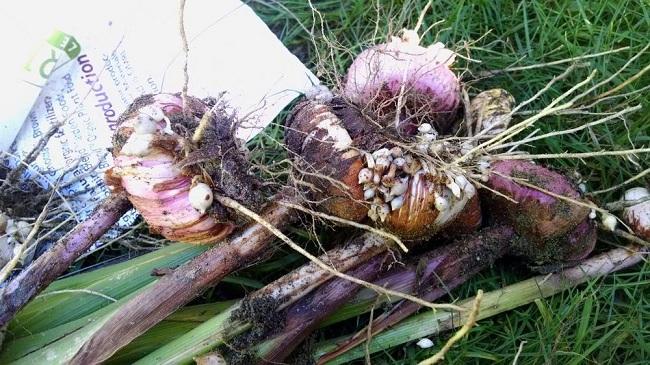 Как хранить гладиолусы  осенью