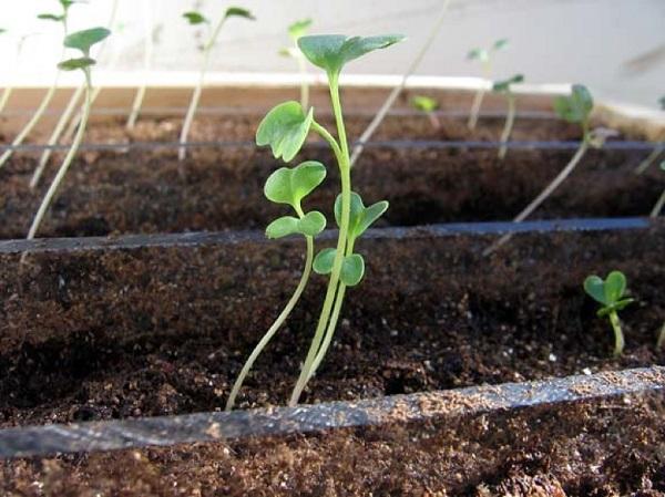 Когдасажать капусту на рассаду в 2019году по лунному календарю