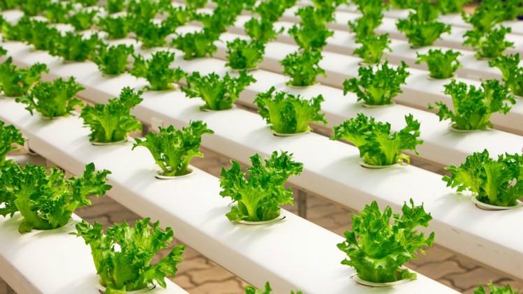 Сроки посадки капусты