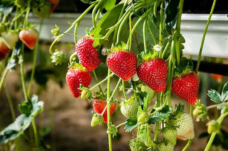 выращивание клубники из семян в домашних условиях