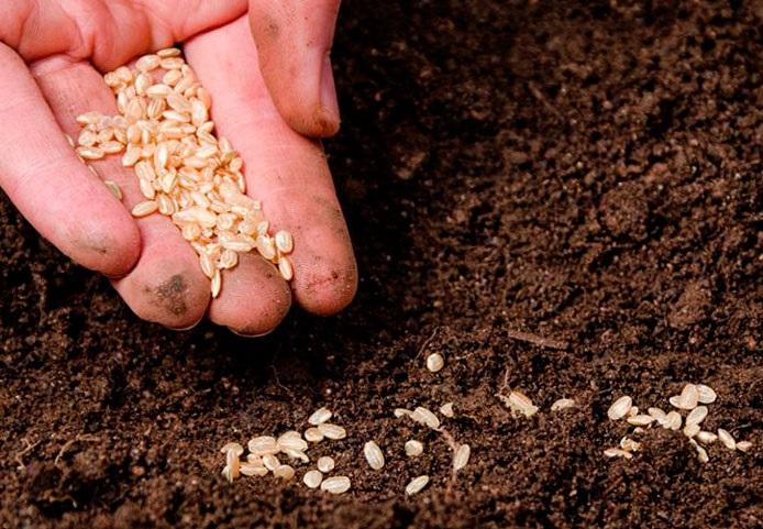 почему семена надо высевать в рыхлую почву