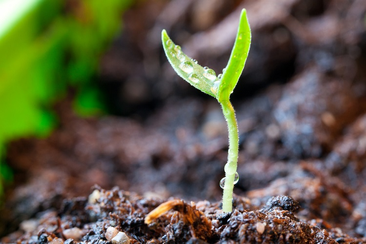 через сколько дней прорастают семена перца