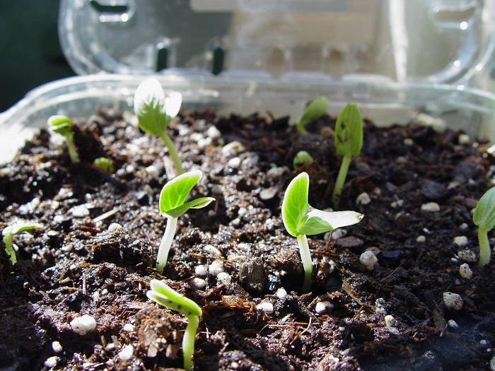 как прорастить семена томатов перед посадкой на рассаду