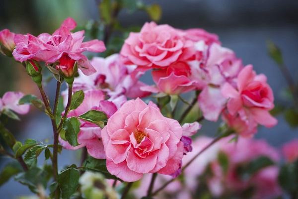 когда высаживать розы в открытый грунт весной